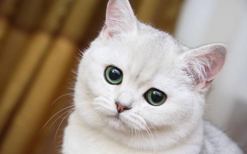 Топ 58 пород котов
