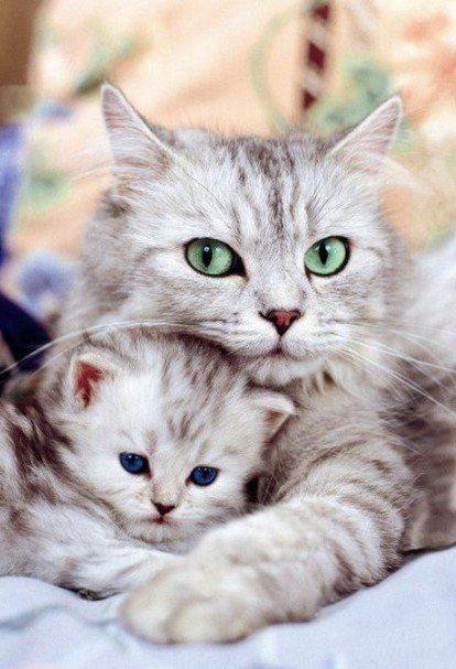 Картинки кошек с котятами. 36 фото мамы кошки с котенком.