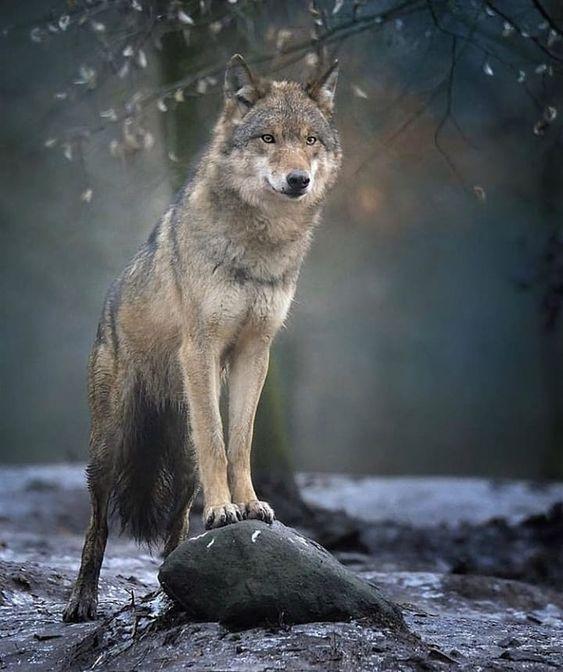 Фотографии одиноких волков