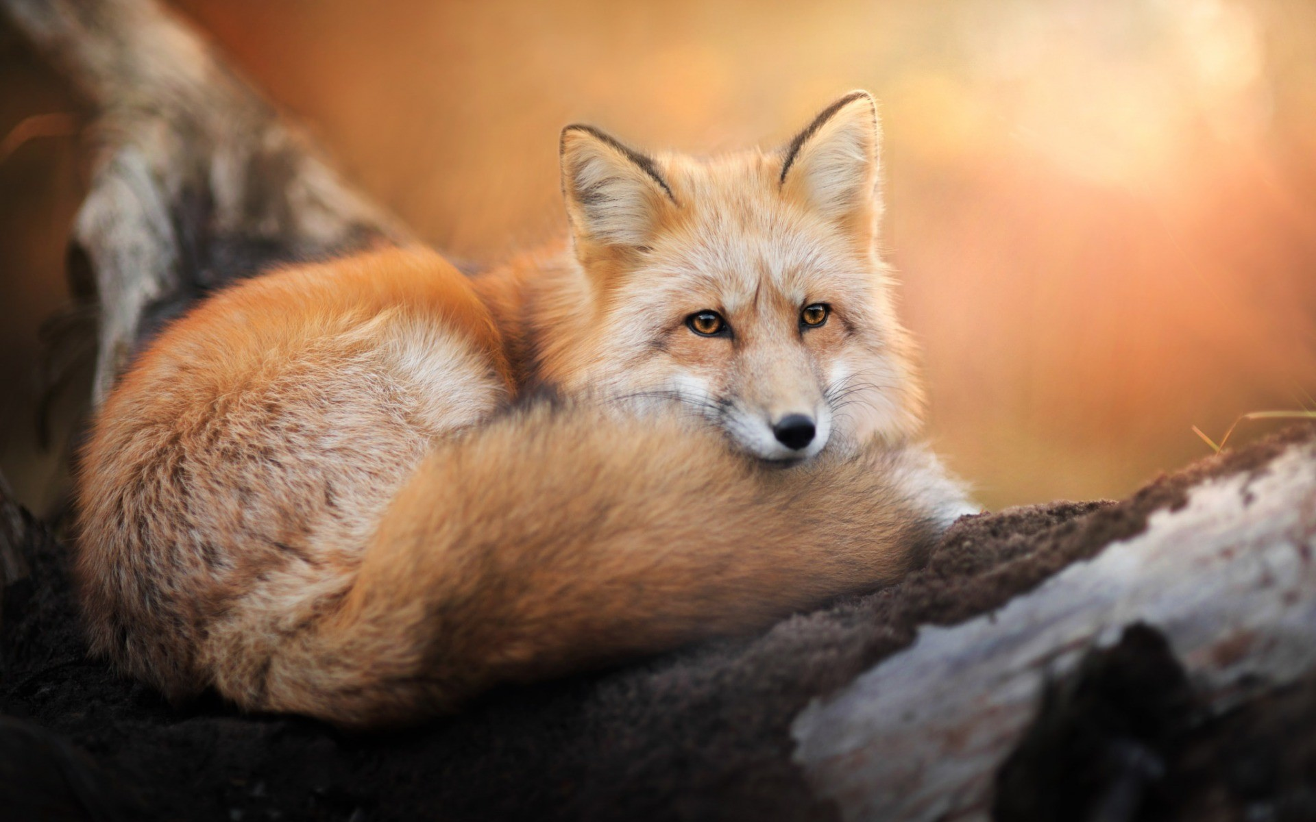 Красивые картинки лисичек фото